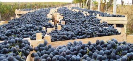 Валовый сбор винограда в Крыму по состоянию на начало ноября 2017 составляет 51,1 тысячу тонн