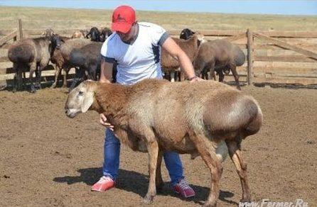 Сколько баранов и коров в Узбекистане