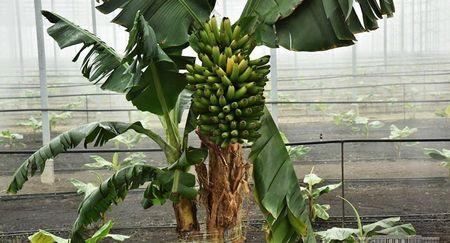 В Андижане выращивают бананы