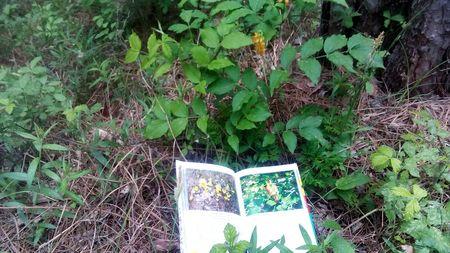 С помощью того же Цветного атласа растений Крыма друзья установили, что перед ними Сочевичник золотистый из семейства бобовых, цветёт в мае-июне, применяется в народной медицине.