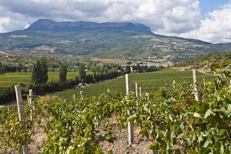 Виноградников в Крыму стало больше