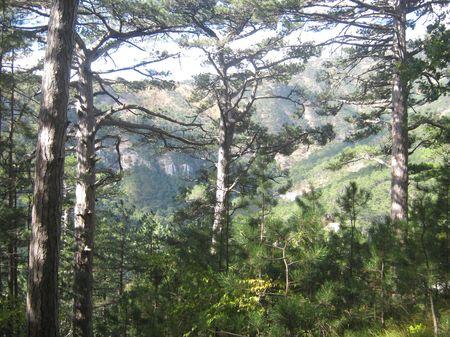Прекрасен сосновый лес в солнечный осенний день.