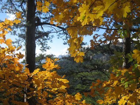 Золотистая крона клена на фоне изумрудных сосен и бирюзового неба.