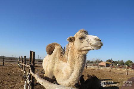 Как верблюды спасли село от вымирания