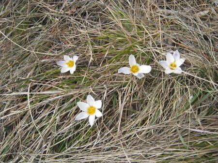 Трава не скоро еще прорастет, а крокусы уже цветут.