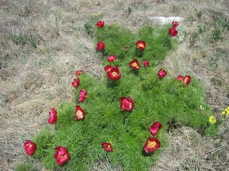 Пион узколистный, цветущий в апреле-мае, является краснокнижным растением
