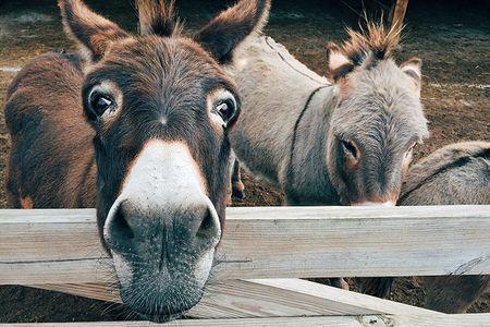 Туркменские ослы подорожали втрое