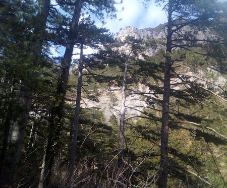 Несравненная красавица крымских лесов — сосна крымская