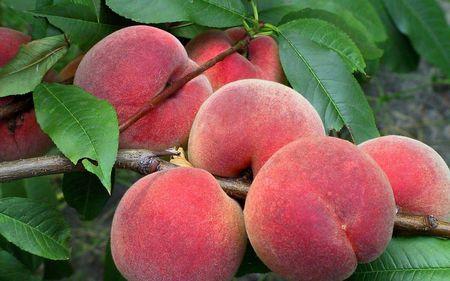 В Крыму созрели персики