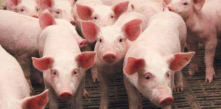 В Татарстане стало больше свиней