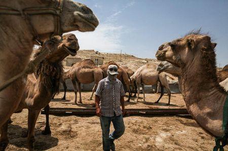 Сколько горбов у верблюда?