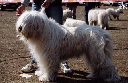 В Симферополе покажут южнорусских овчарок