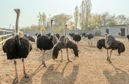 Зачем узбекам страусы