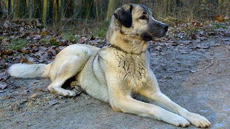 В Турции этих собак называют львами