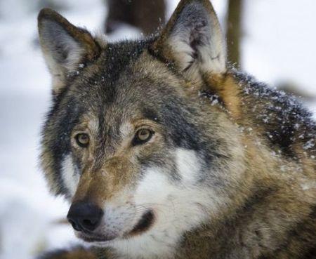 В Бурчеке волки задрали стадо коз
