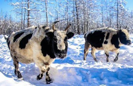 В Саха и коровы саха