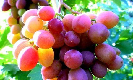 В Крыму поспел виноград